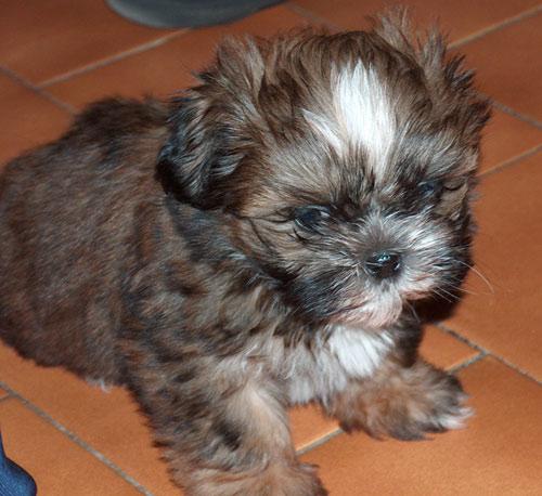 Chiot shih-tzu - Assurance santé chiens et chats